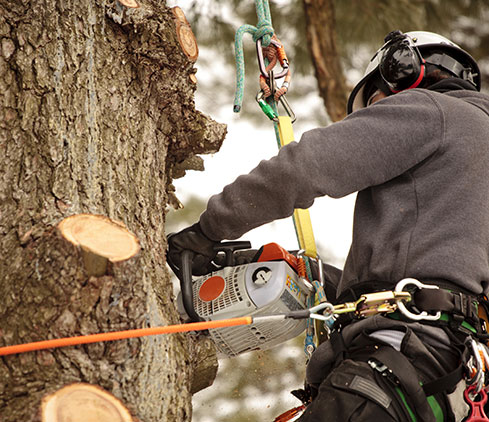 Champion Tree Trimming Service, LLC employee cutting a tree down
